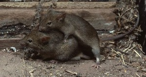 ARKive image ARK014352 - House mouse