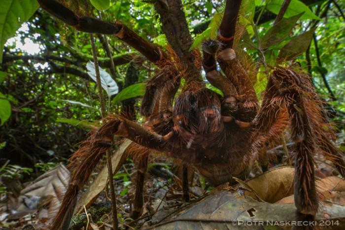 goliath spider 1