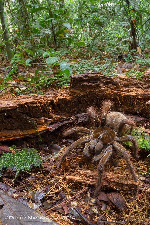 goliath spider 3
